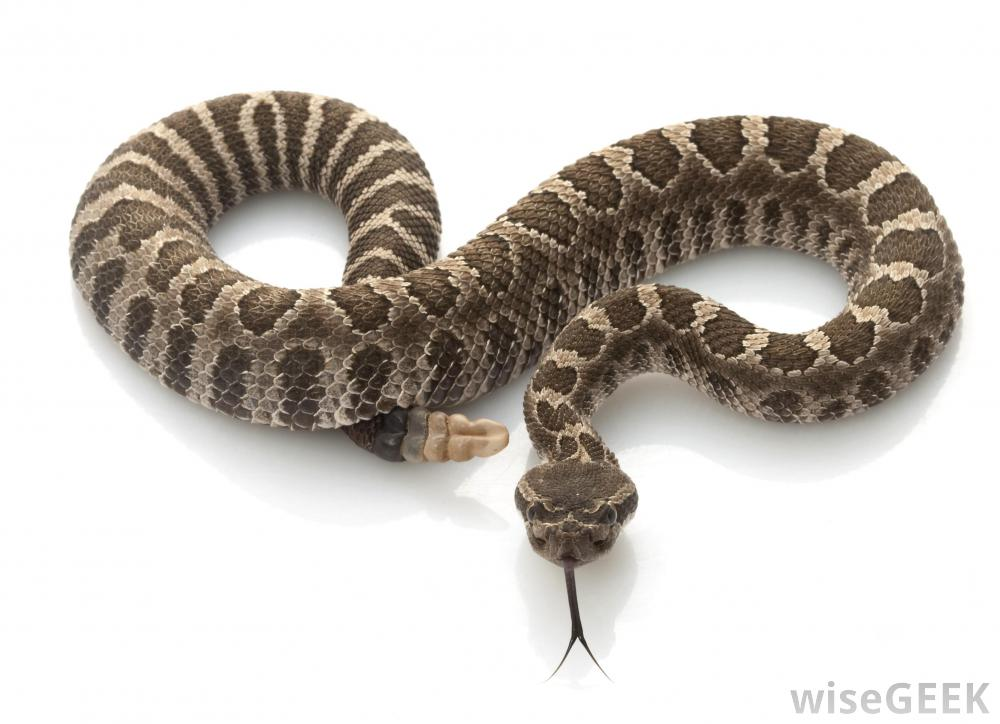 what are the different types of rattlesnakes