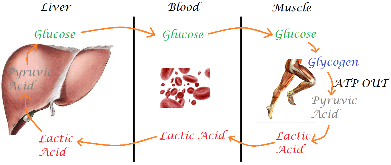 lactate acid and its role in the human body Reviews the history of the misunderstanding of lactate – often called lactic acid  roles for lactate in the body:  human bioenergetics and its .
