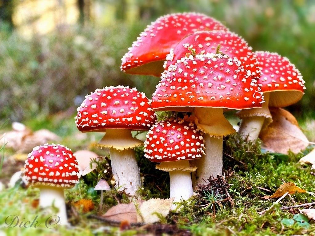 how to prepare amanita muscaria mushrooms